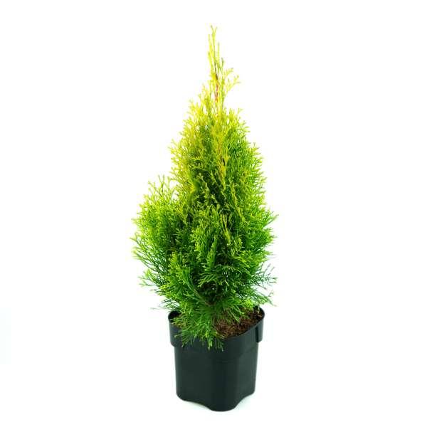 Lebensbaum Golden Smaragd 01