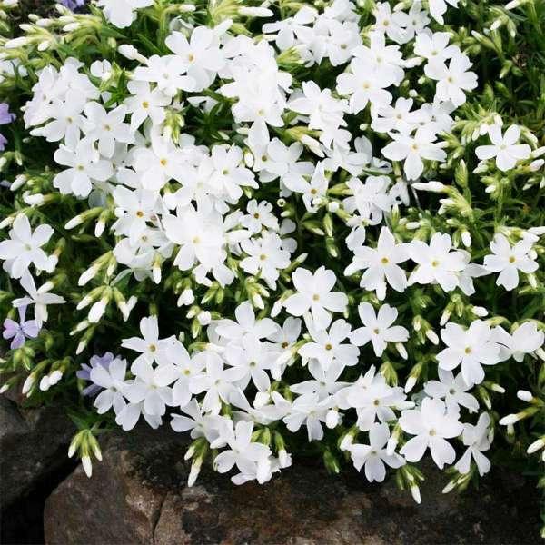 Teppich-Phlox White Delight