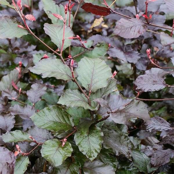 Blutbuche Purpurea