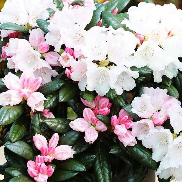 Rhododendron Hydon Velvet