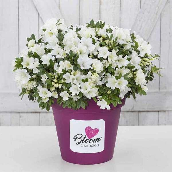 Azalee Bloom Champion White