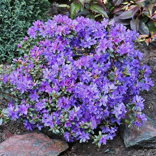 Kleinblättriger Rhododendron Saint Merryn