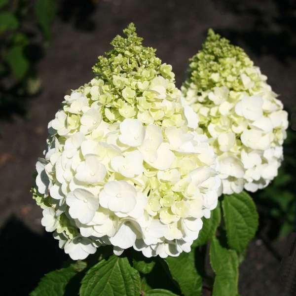 Rispenhortensie-Hydrangea-paniculata-Magical-Mont-Blanc-01