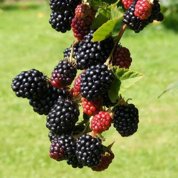 Brombeere-Rubus-fruticosus-Navaho-01
