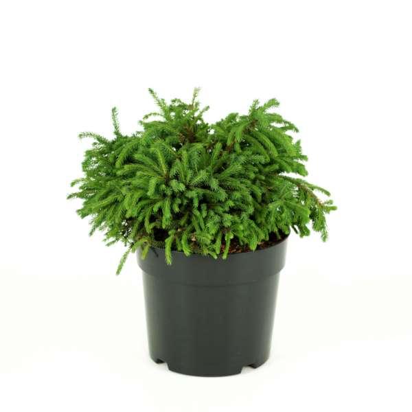 Picea-abies-Echiniformis-C6_4-25-30