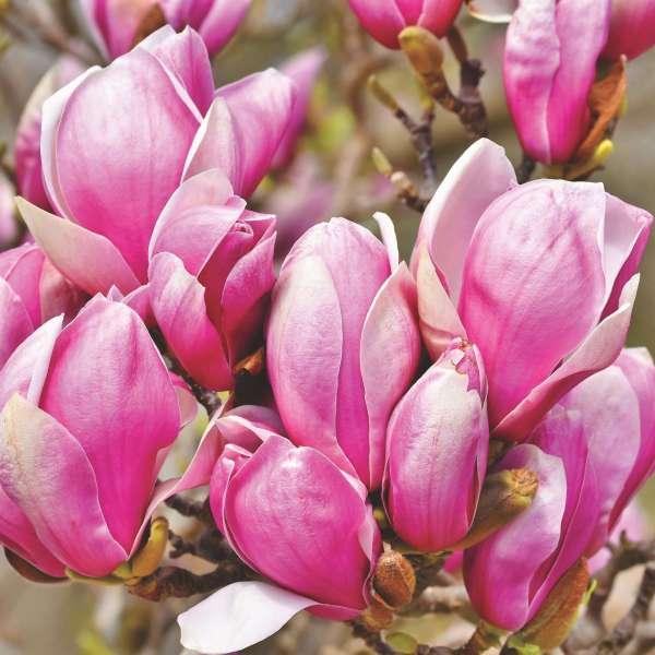 Tulpen-Magnolie-Magnolia-x-soulanginana-Heaven-Scent-01