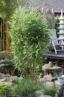 Bambus Fargesia murielae 'Blue Lizard' ®