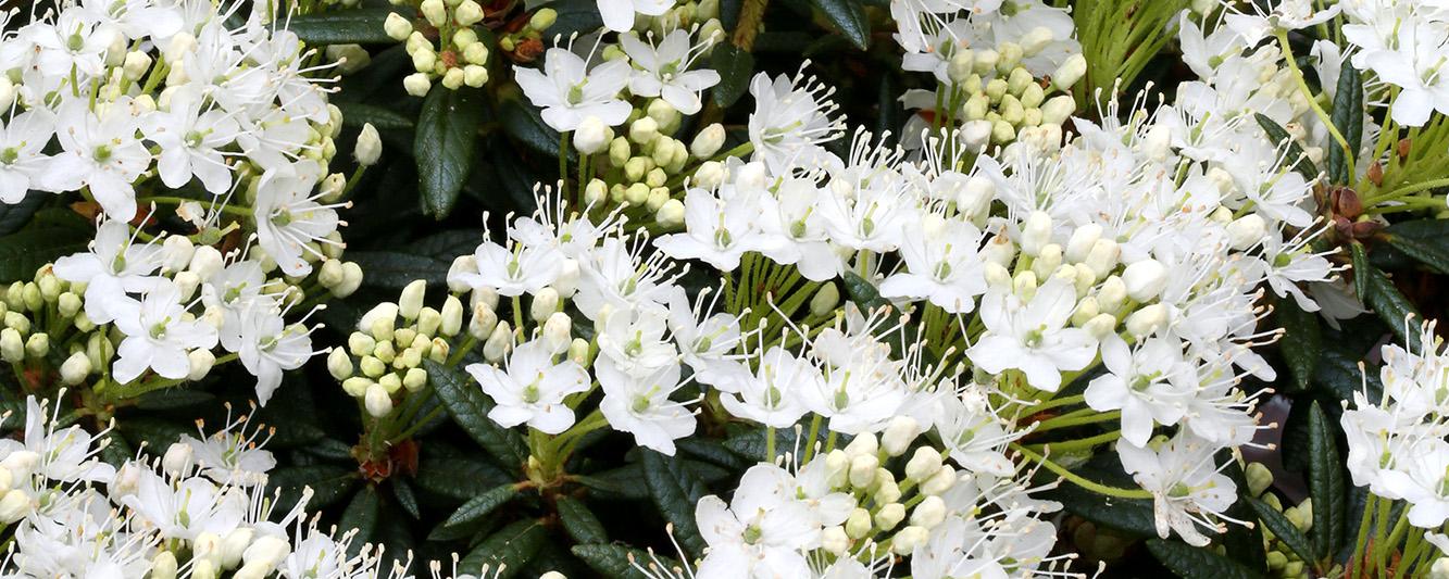 Sumpfporst Blüten