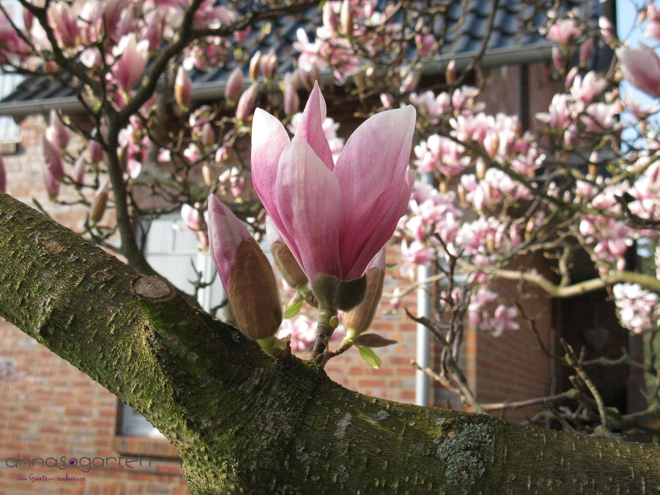 Magnolia liliiflora Niedrige Magnolie Betty 125-150cm