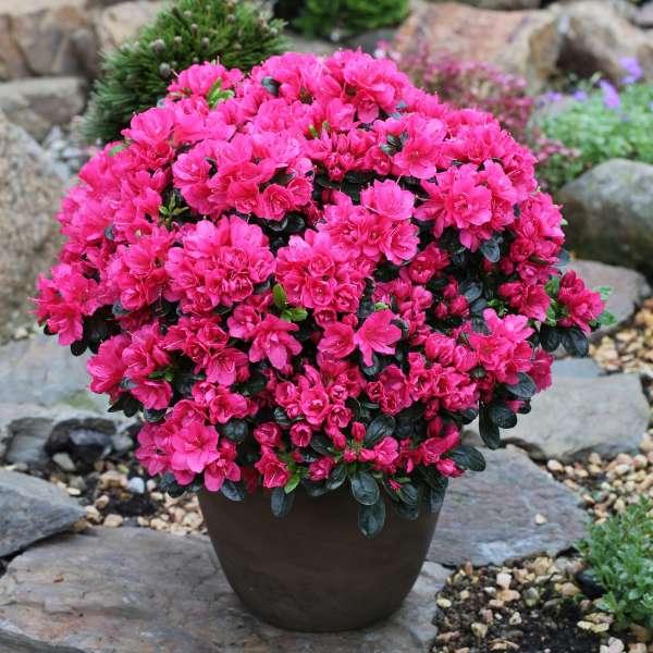 Japanische-Azalee-Rhododendron-obtusum-Canzonetta-03