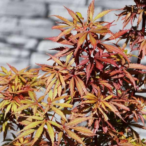 Acer palmatum Jerre Schwartz-02