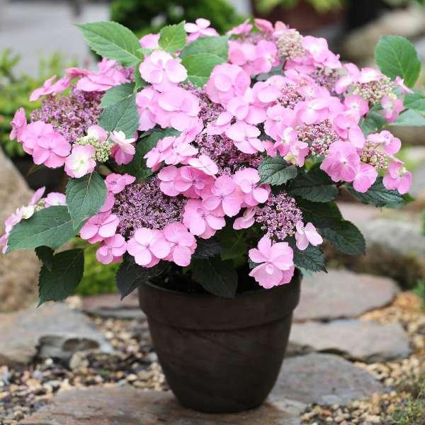 Gartenhortensie Hydrangea Cotton Candy Topf