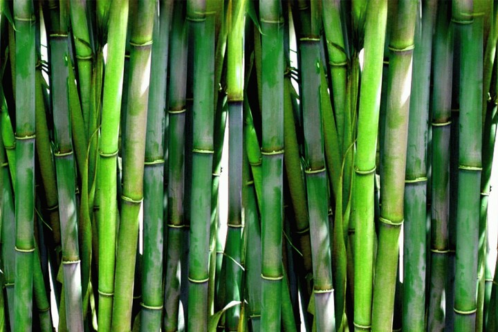 Bambus-pflanzen-und-pflegen