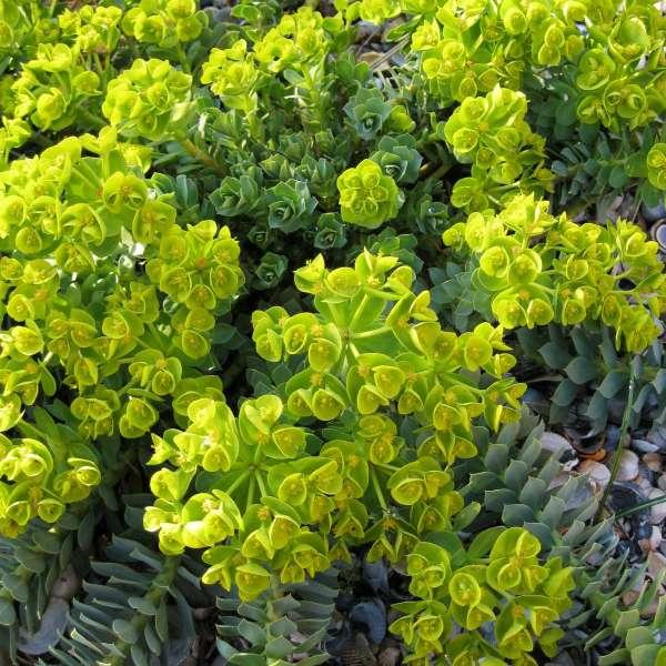 Walzen-Wolfsmilch-Euphorbia-myrsinites-01