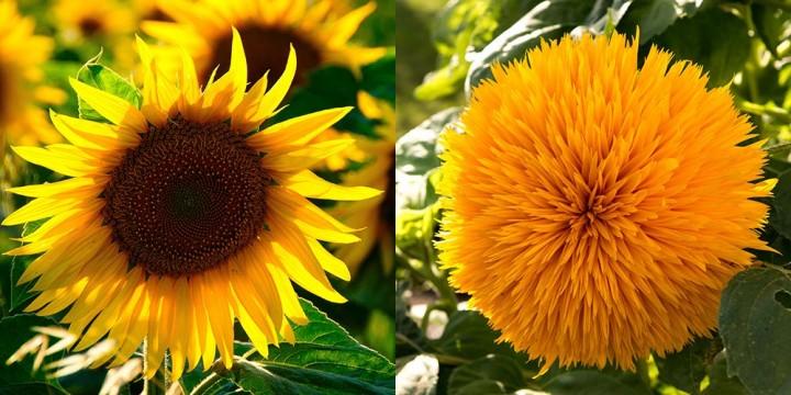 Sonnenblume-gef-llt-ungef-llt