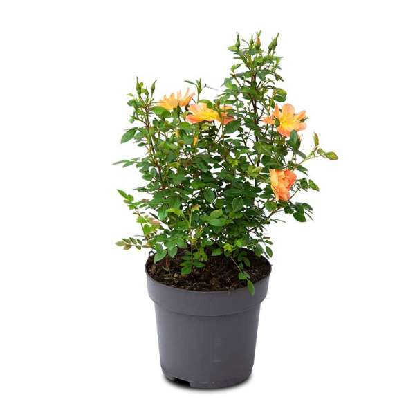 Beetrose Bienenweide Apricot