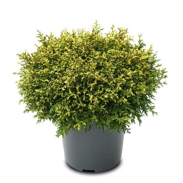 Mooszypresse-Chamaecyparis-pisifera-Plumosa-Compressa-02