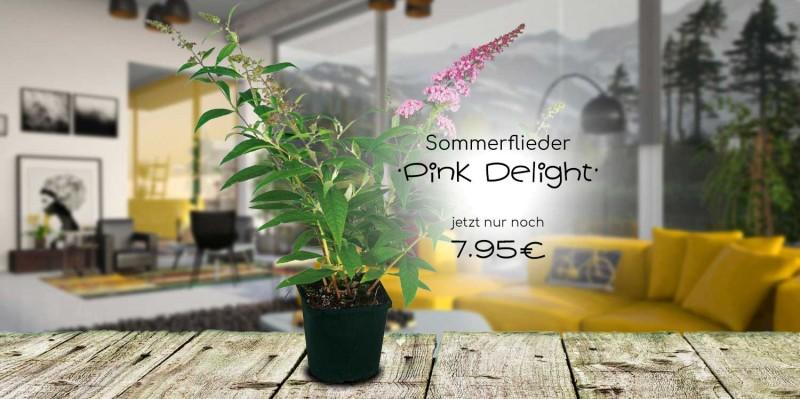 Sommerflieder Pink Delight