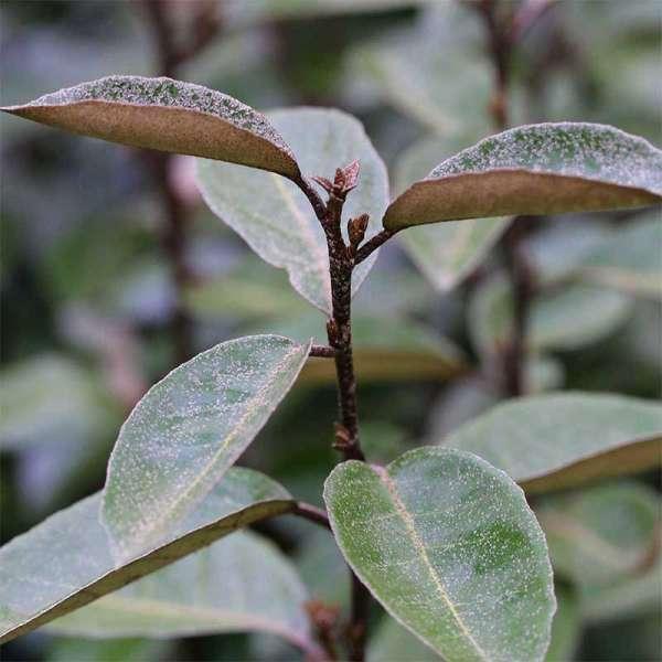 Wintergrüne Ölweide Elaeagnus ebbingei