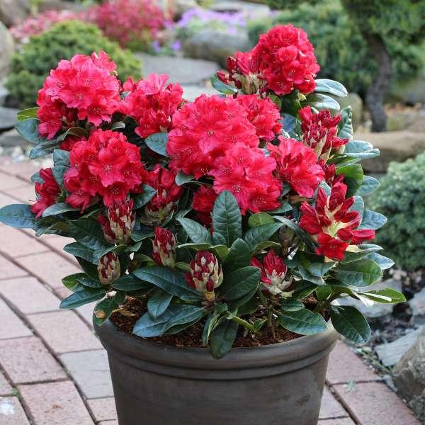 Rhododendron Lisetta Topf 02