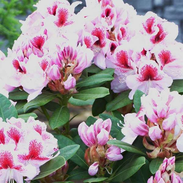 Rhododendron Belami