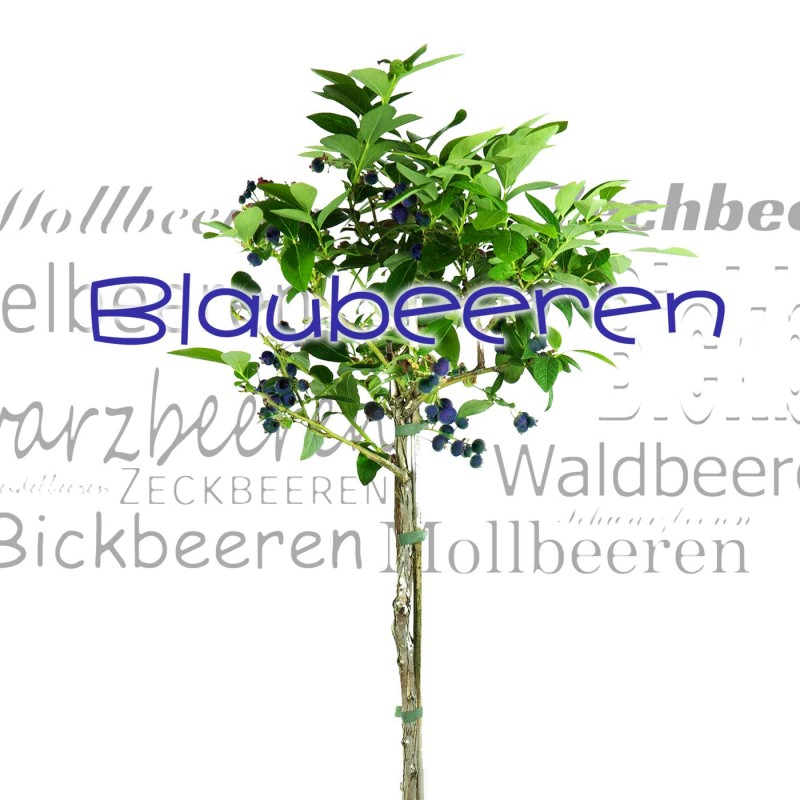Heidelbeeren Blaubeeren