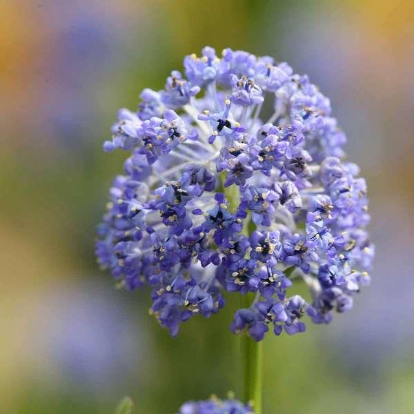 Säckelblume Puget Blue