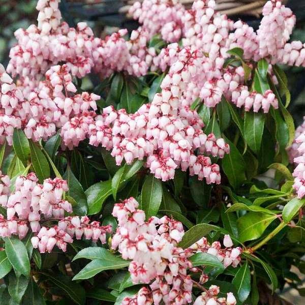 Japanische Lavendelheide Pink Passion