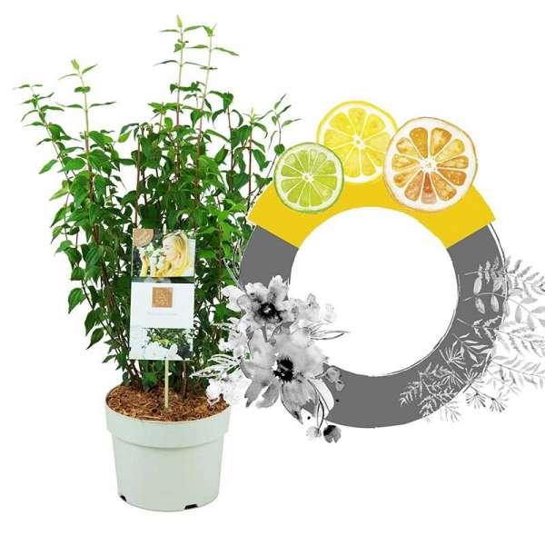Grand Fl'Aroma Pfeifenstrauch Lemon Beauty