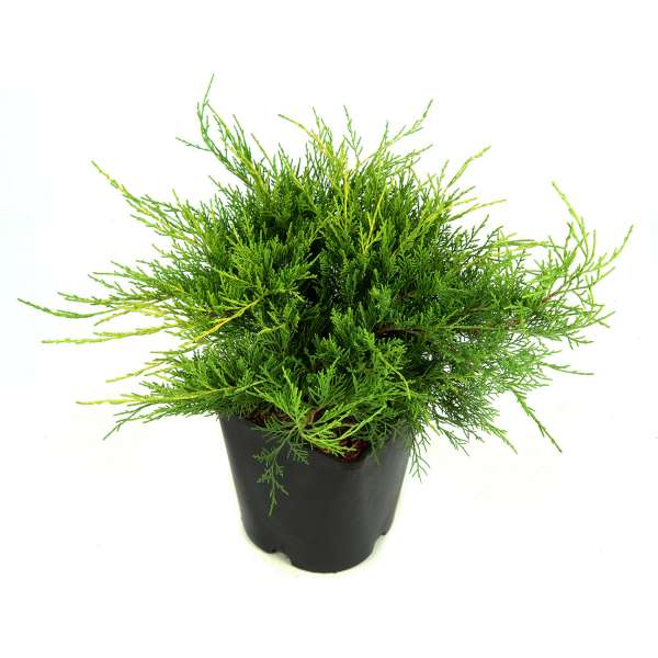 Wacholder-Juniperus-chinensis-Old-Gold-C5-30-40