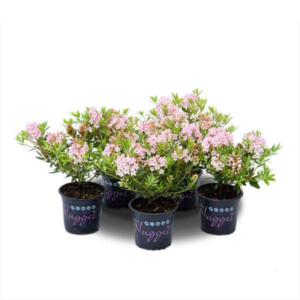 Rhododendron-5er Set Nugget by Bloombux Pink