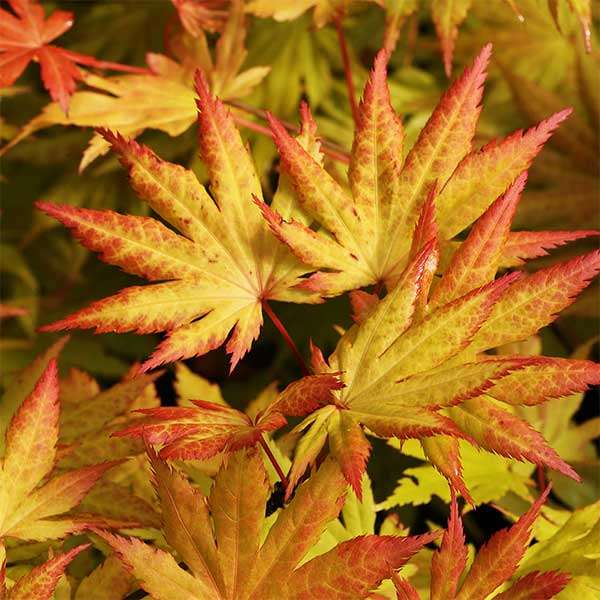 Japanischer Goldahorn 'Autumn Moon'
