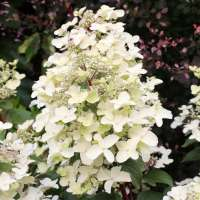 Rispenhortensie-Hydrangea-paniculata-Wims-Red-01