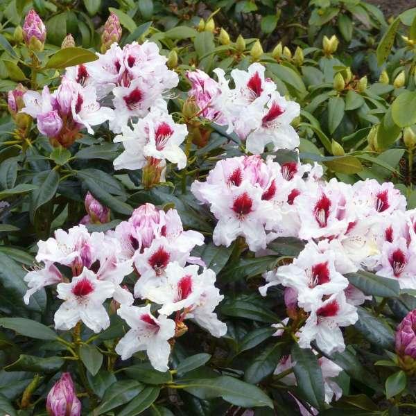 Rhododendron-Hybride-Graffito-01