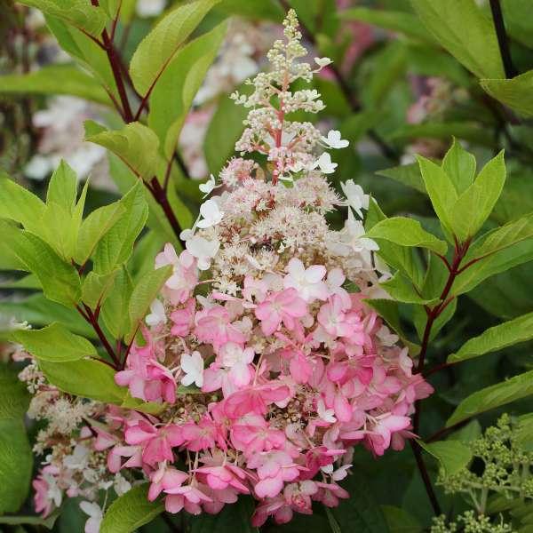 Rispenhortensie-Hydrangea-paniculata-Pinky-Winky-01