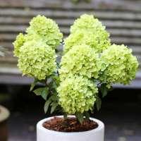 Hortensie Hydrangea paniculata Little Lime