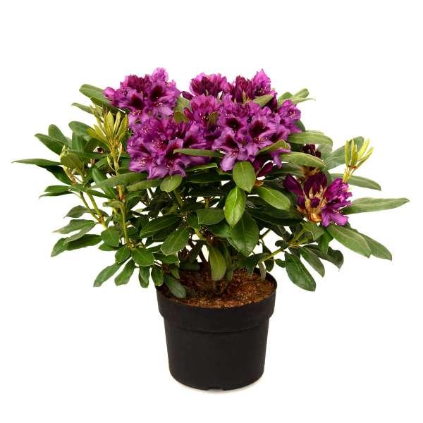 Rhododendron-Hybride-Marcel-Menard-01
