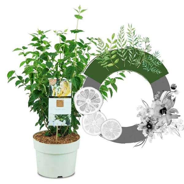 Grand Fl'Aroma® Pfeifenstrauch Spicy White