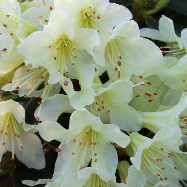 Zwerg-Rhododendron-hanceanum-Shamrock-01