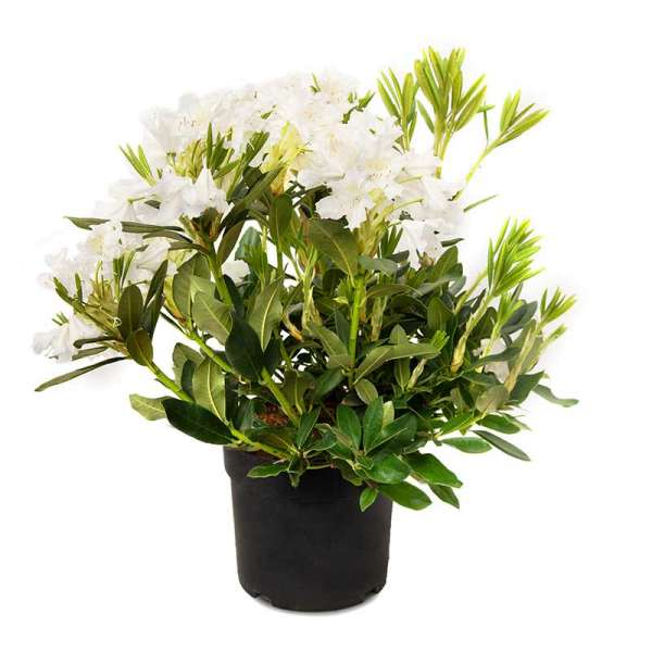 Rhododendron Cunningham´s White