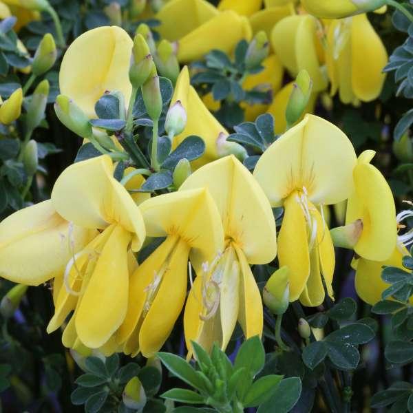 Edeöginster-Cytisus-scoparius-Golden-Sunlight-Blüten