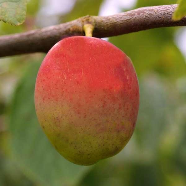 Pflaume-Prunus-domestica-Königin-Viktoria-01