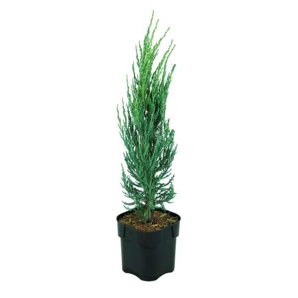 Wacholder-Juniperus-virginiana-Blue-Arrow-C2_3