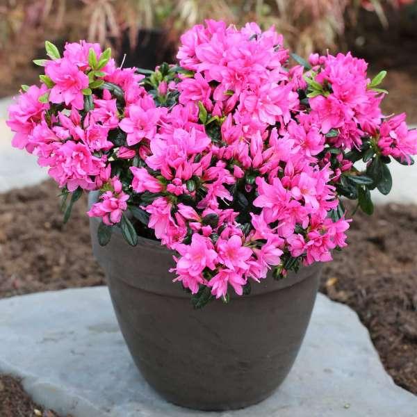 Rhododendron obtusum Melina Topf 01