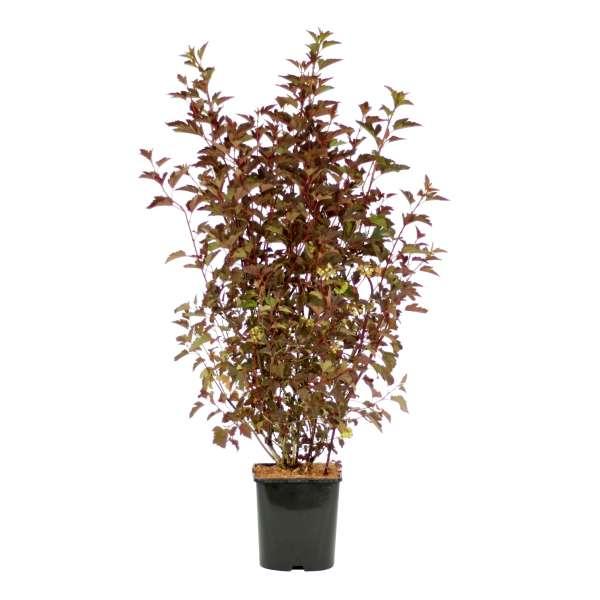 Physocarpus-opulifolius-Lady-in-Red-C4_6-40-50