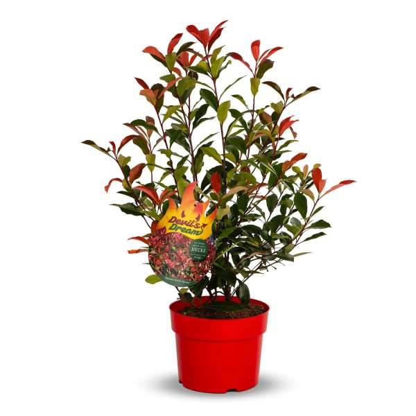 Glanzmispel Photinia fraseri Devils Dream Packshot