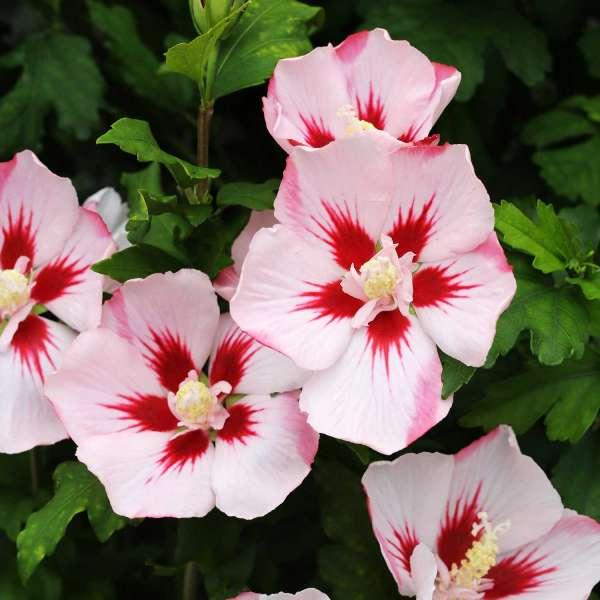 Gartenhibiskus Hamabo Blüten 01
