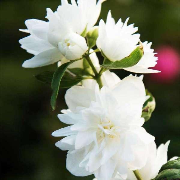 Grand Fl'Aroma Pfeifenstrauch White Scent