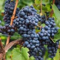 Blaue Weintraube Centuri