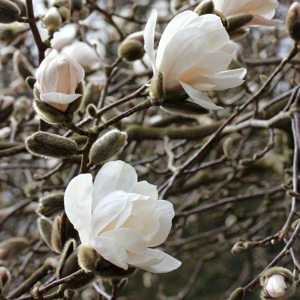 Sternmagnolie-Magnolia-loebneri-Merrill-Blüten-01